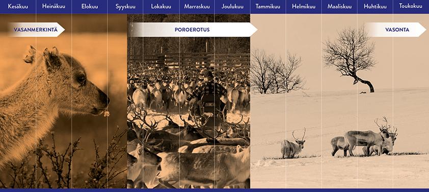 Vasonta tapahtuu tammi- toukokuun aikana, jonka jälkeen kesä- syyskuun aikana vasat merkitään ja syys- joulukuun aikana tapahtuu poroerotus.